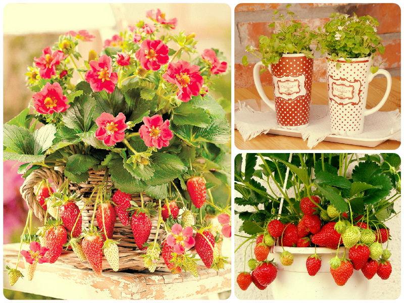 Как выращивать клубнику на подоконнике